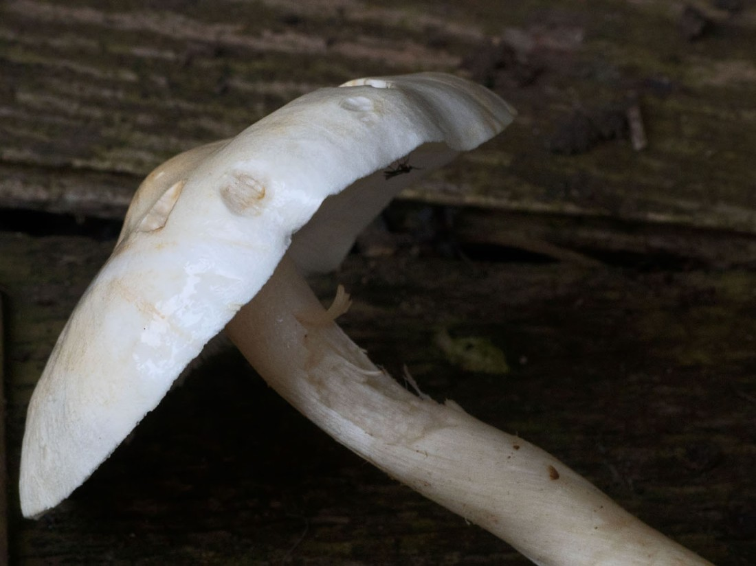 Cavalier mushroom 30 Sept 2017