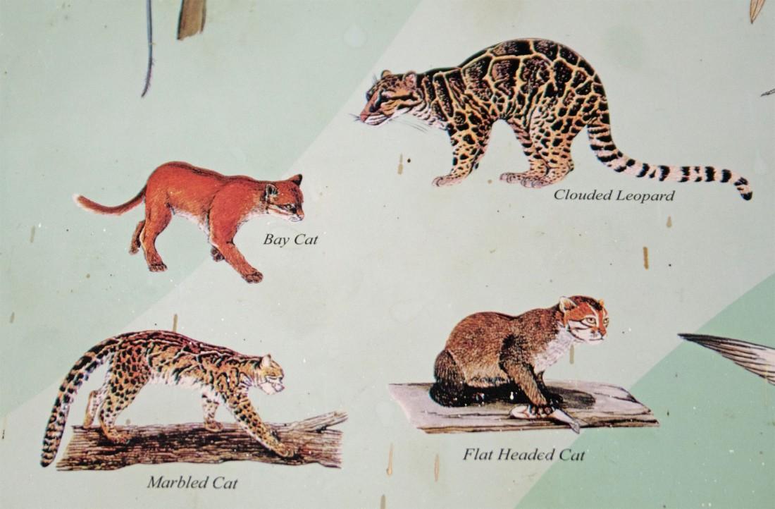 Borneo wild cats