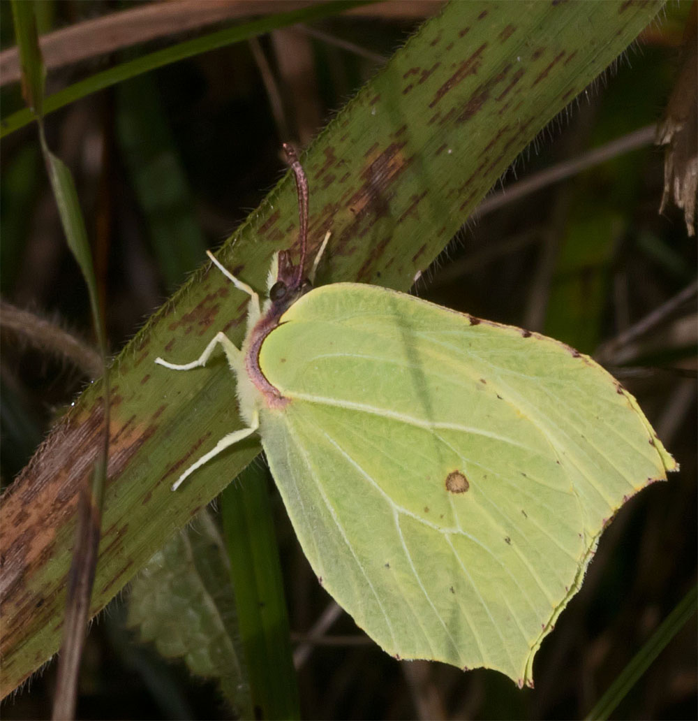 Brimstone buttery 3 Oct 2017