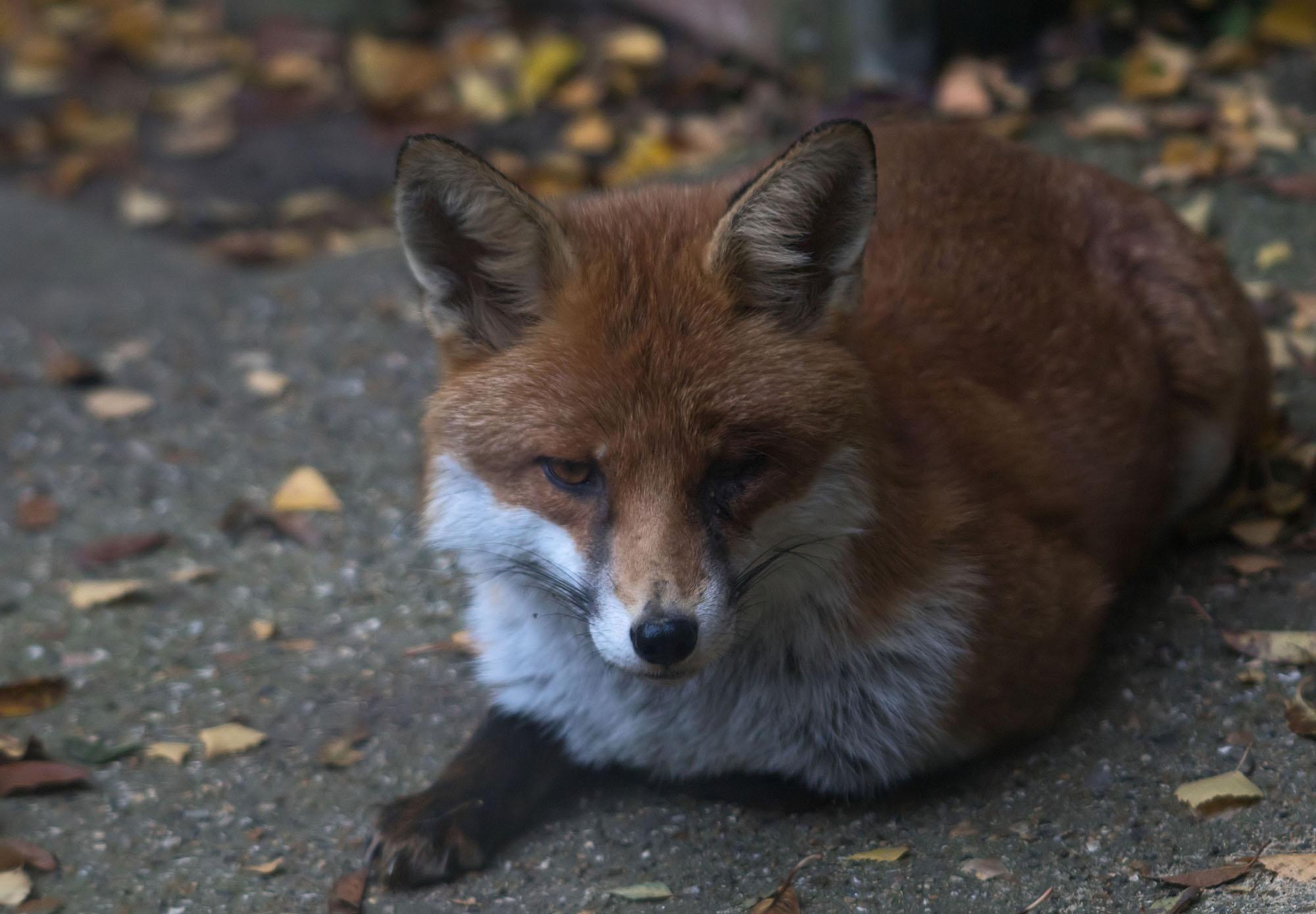 Fox One Eye 6 Oct 2017
