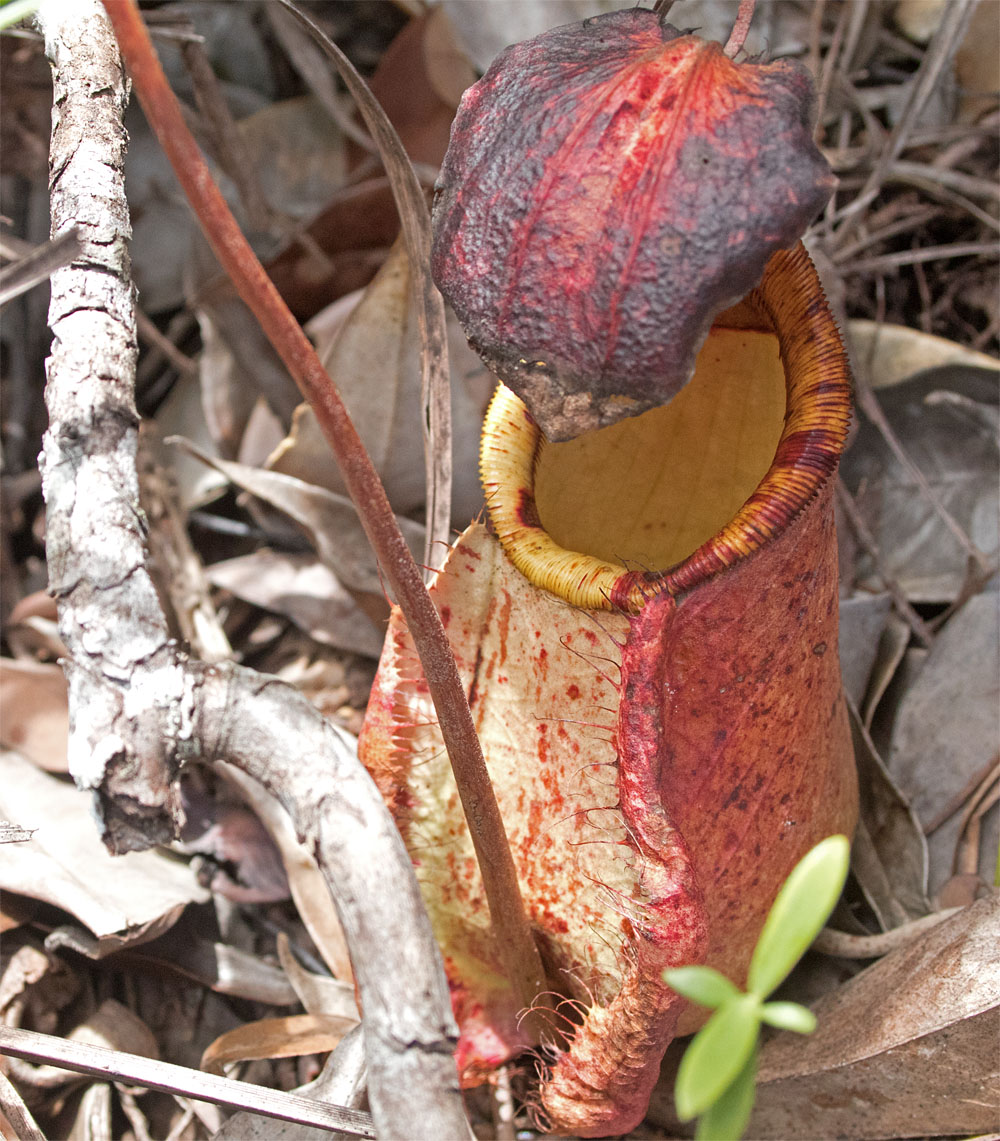 Pitcher plant Bako Mar 2017
