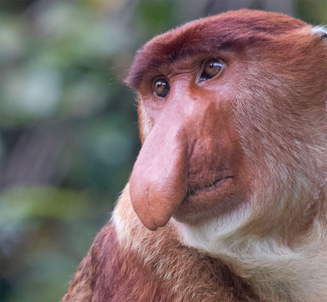 Proboscis monkey1 Bako Mar 2017