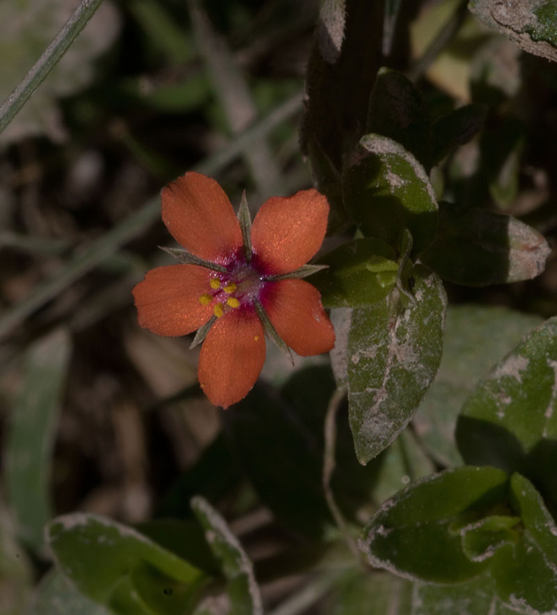 Scarlet pimpernel 3 Oct 2017