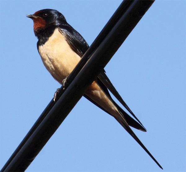 Singing swallow