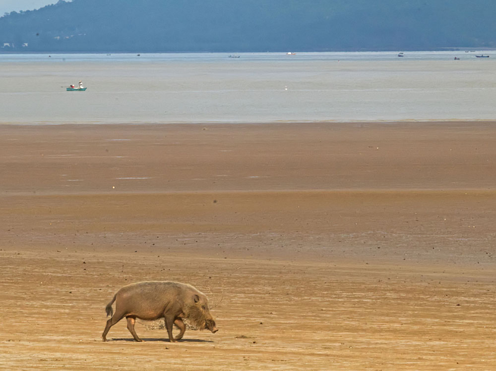 Bearded pig on beach1