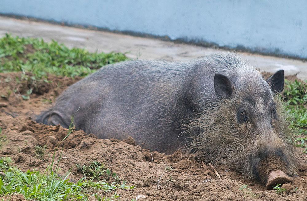 Bearded pig1