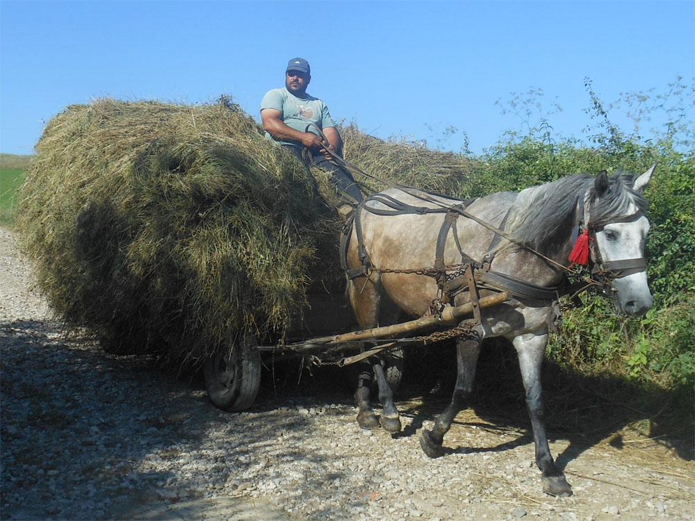 Bringing the hay home