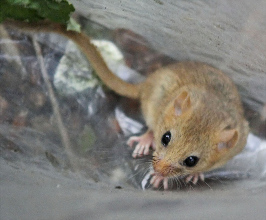 Dormouse photo2