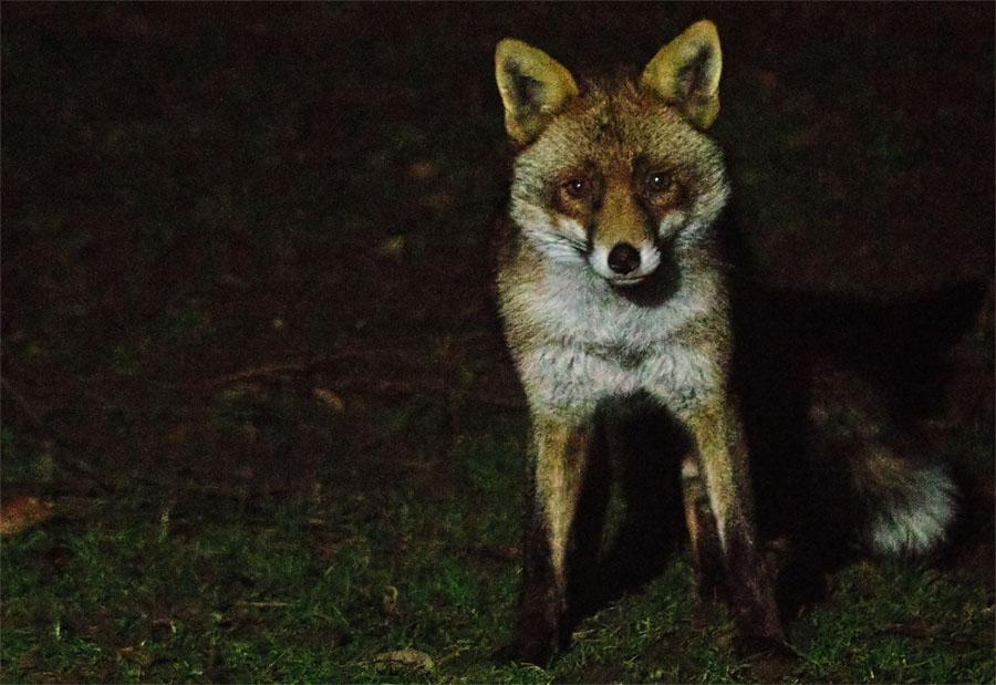 Fox Intruder 170122
