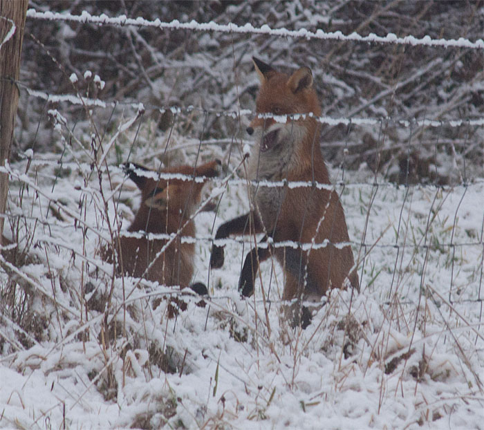 foxes snow12 210215