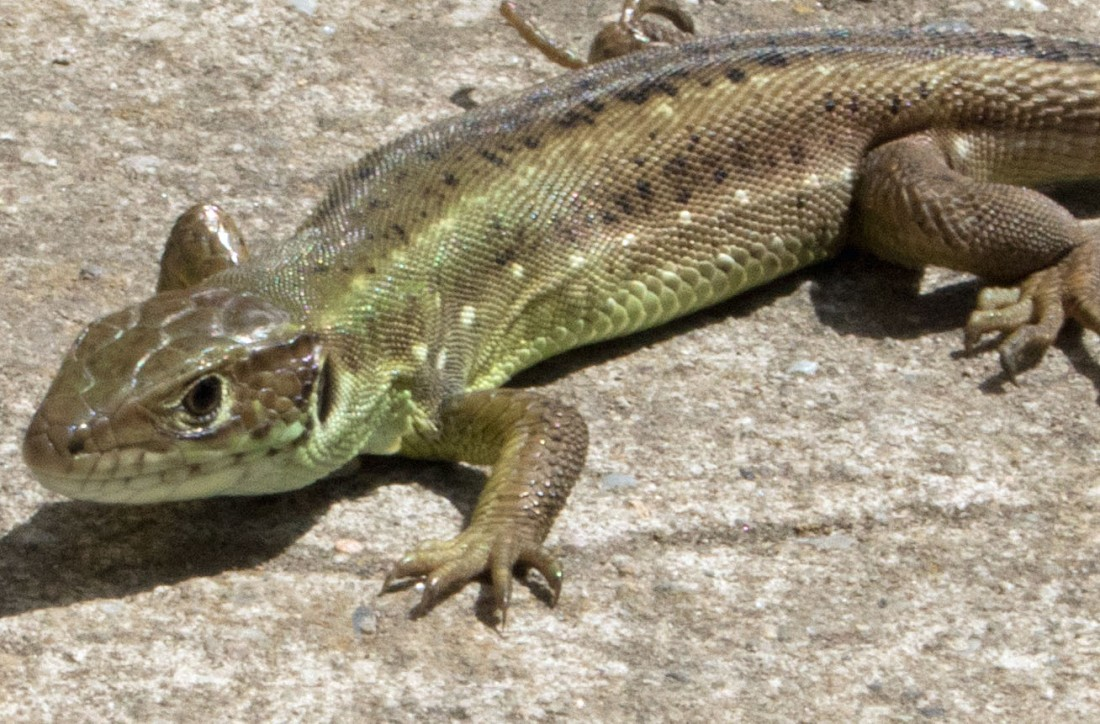 Sand lizard v1