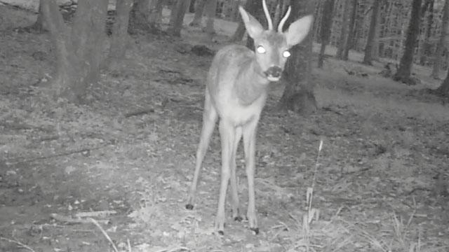 Roe deer2