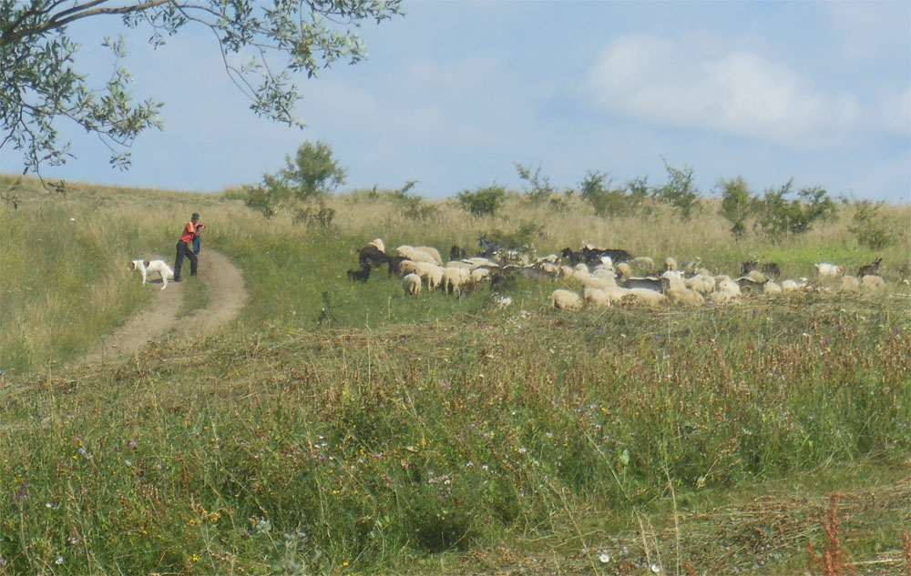 Sheep flock Mesendorf