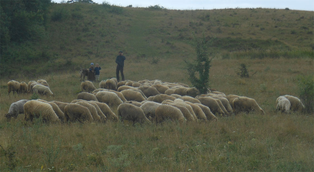 Sheep flock Viscri