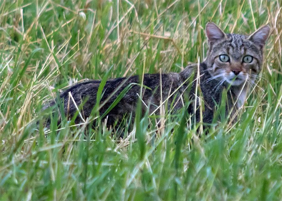 Wildcat2b