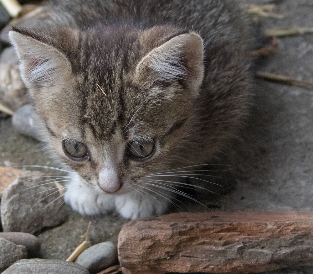 Daia kitten