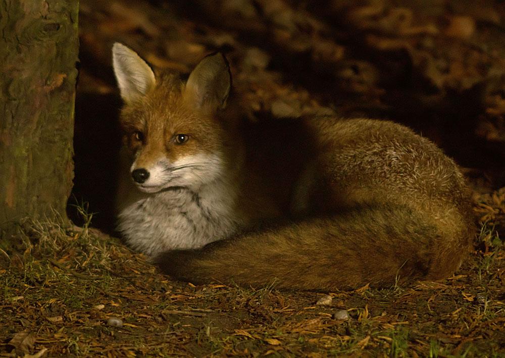 Fox Cavalier cub2a 9 Dec 2017