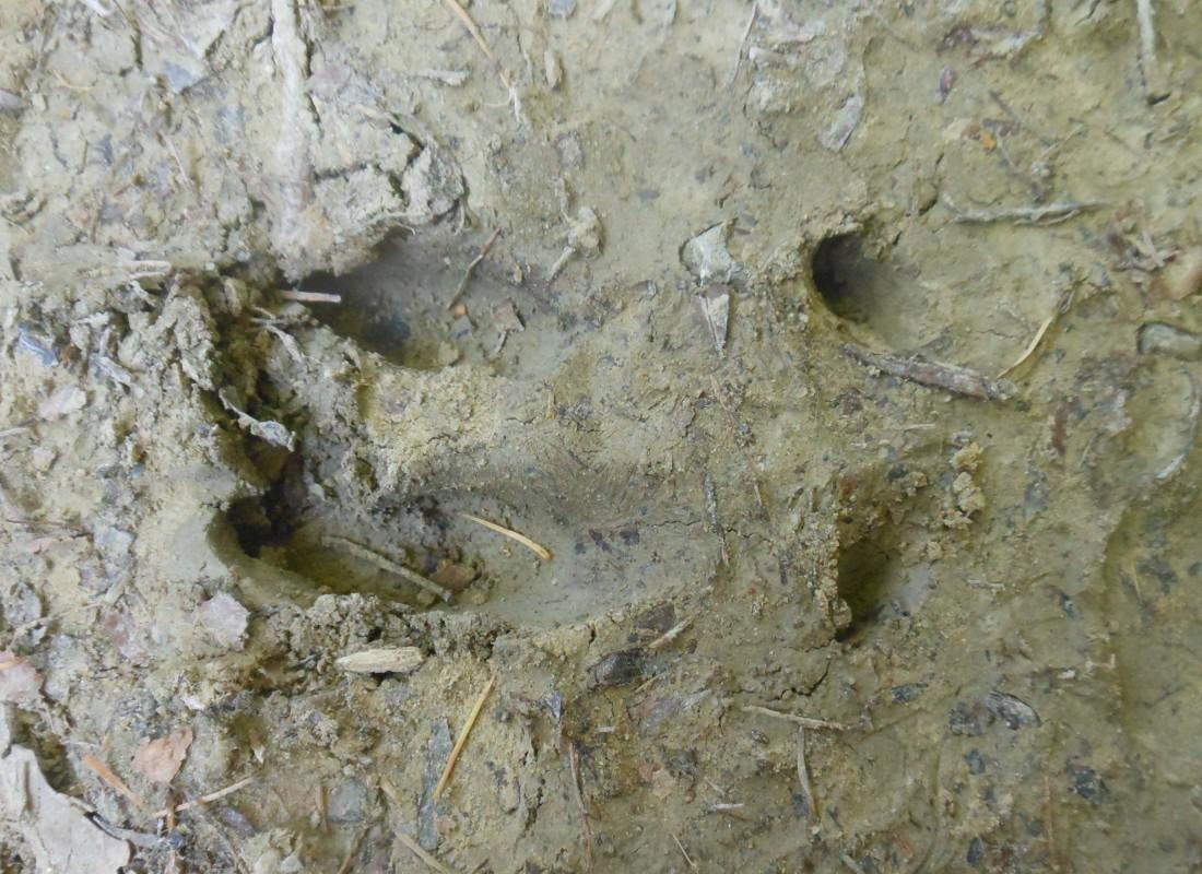 Wild boar track