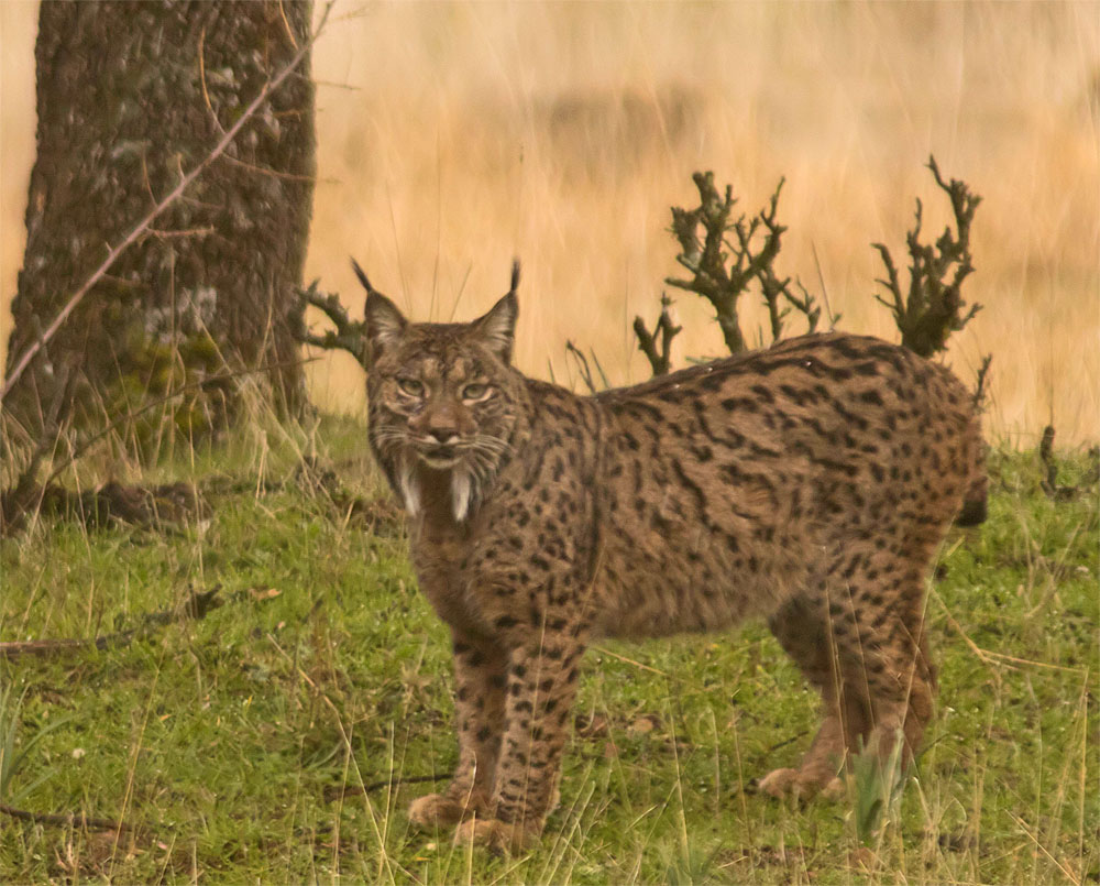 Iberian lynx1 5 Feb 2018