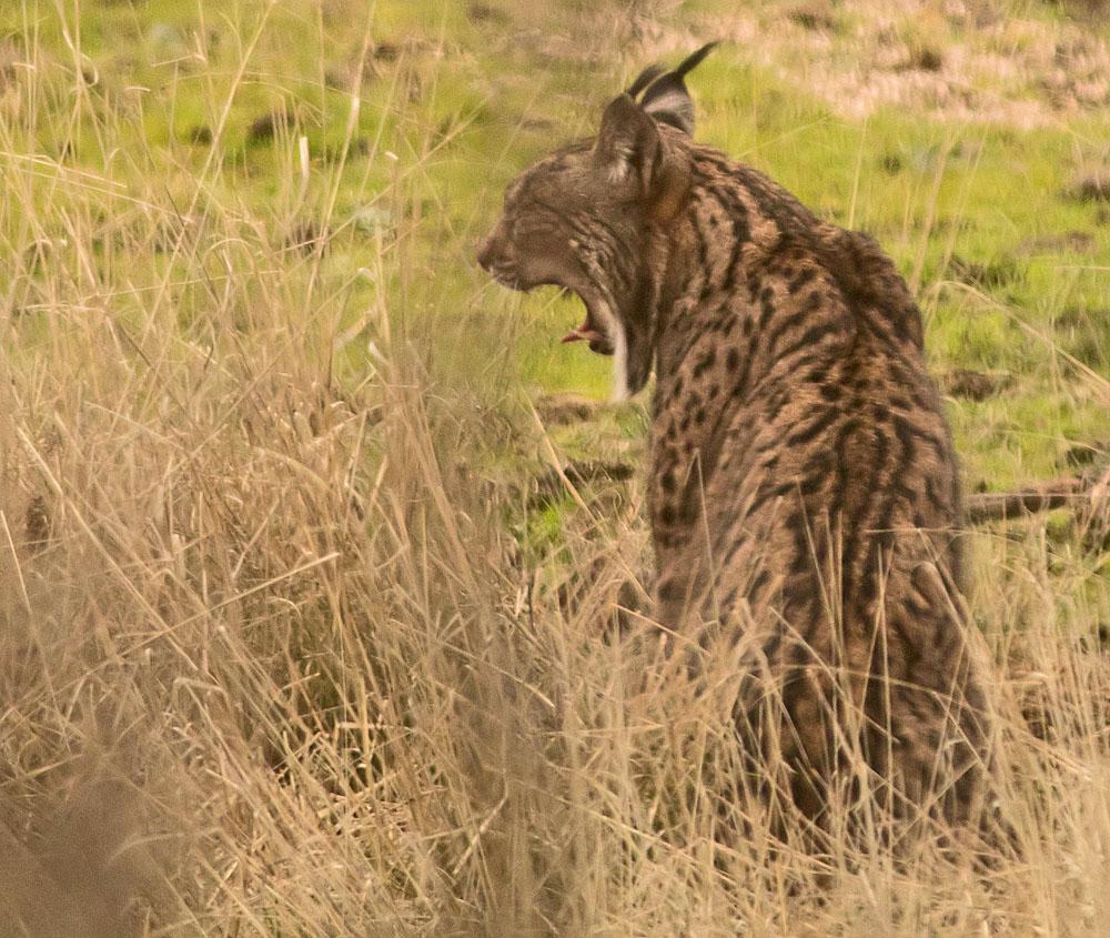 Iberian lynx11 5 Feb 2018