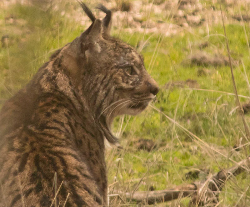 Iberian lynx3a 5 Feb 2018