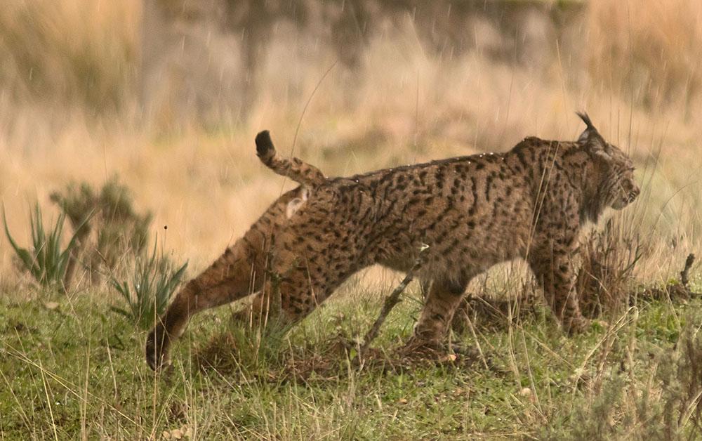 Iberian lynx8a 5 Feb 2018