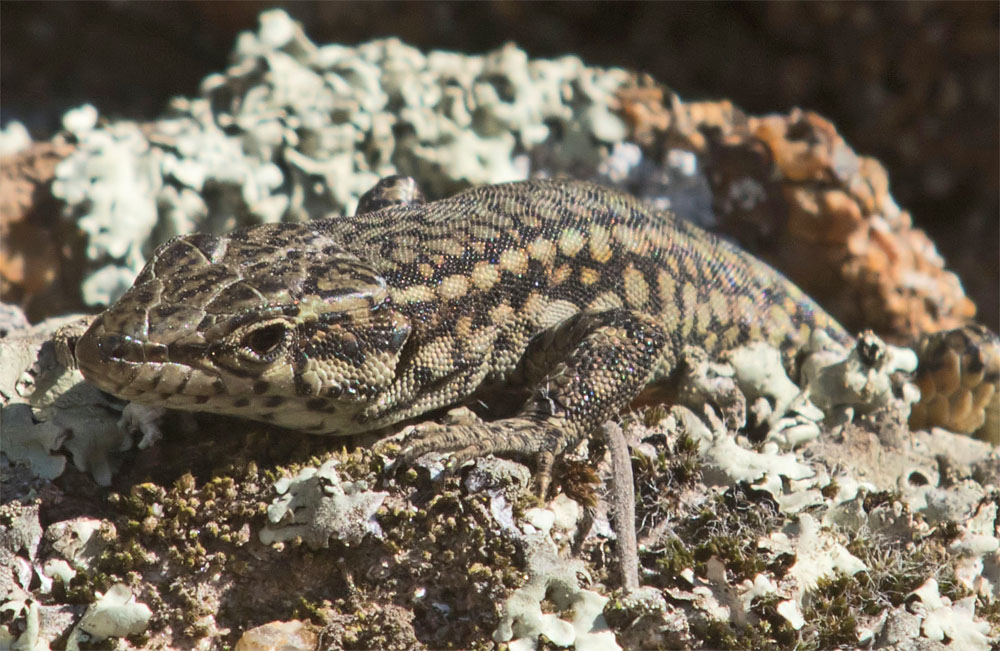 Lizard Sp 1