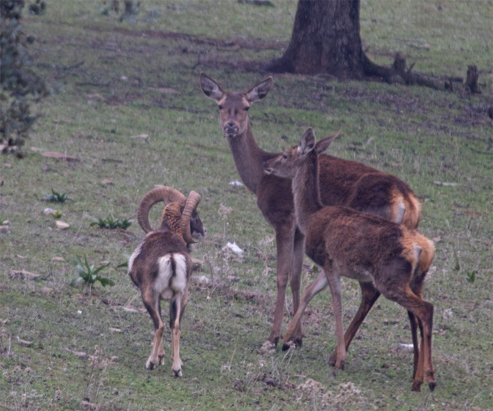 Mouflon and red deer