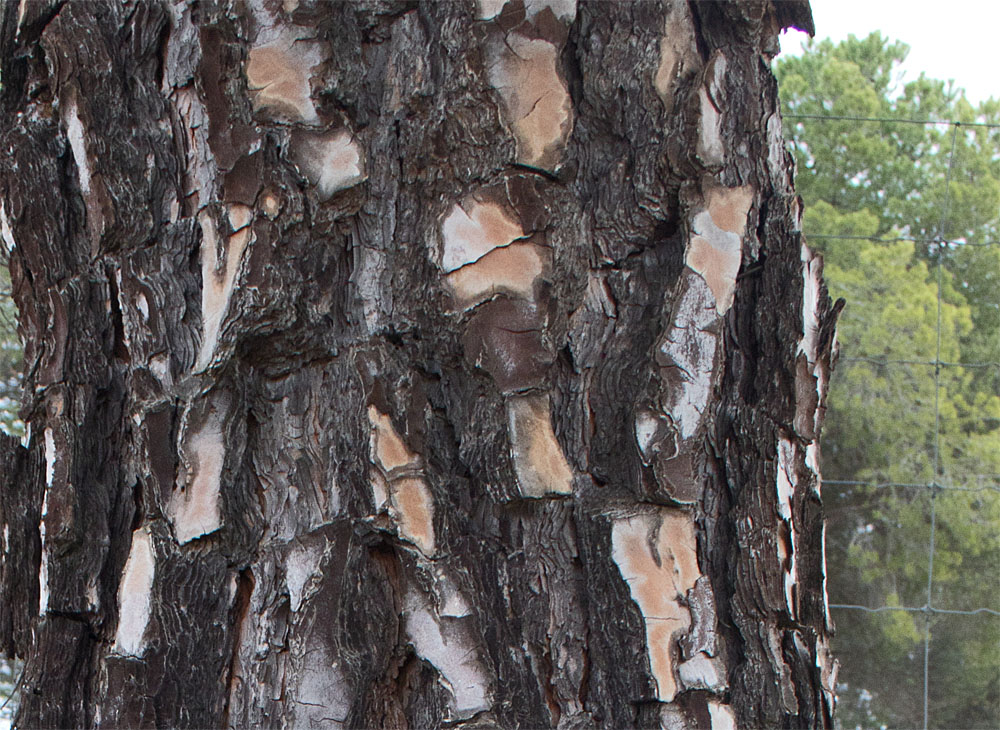 Stone pine bark
