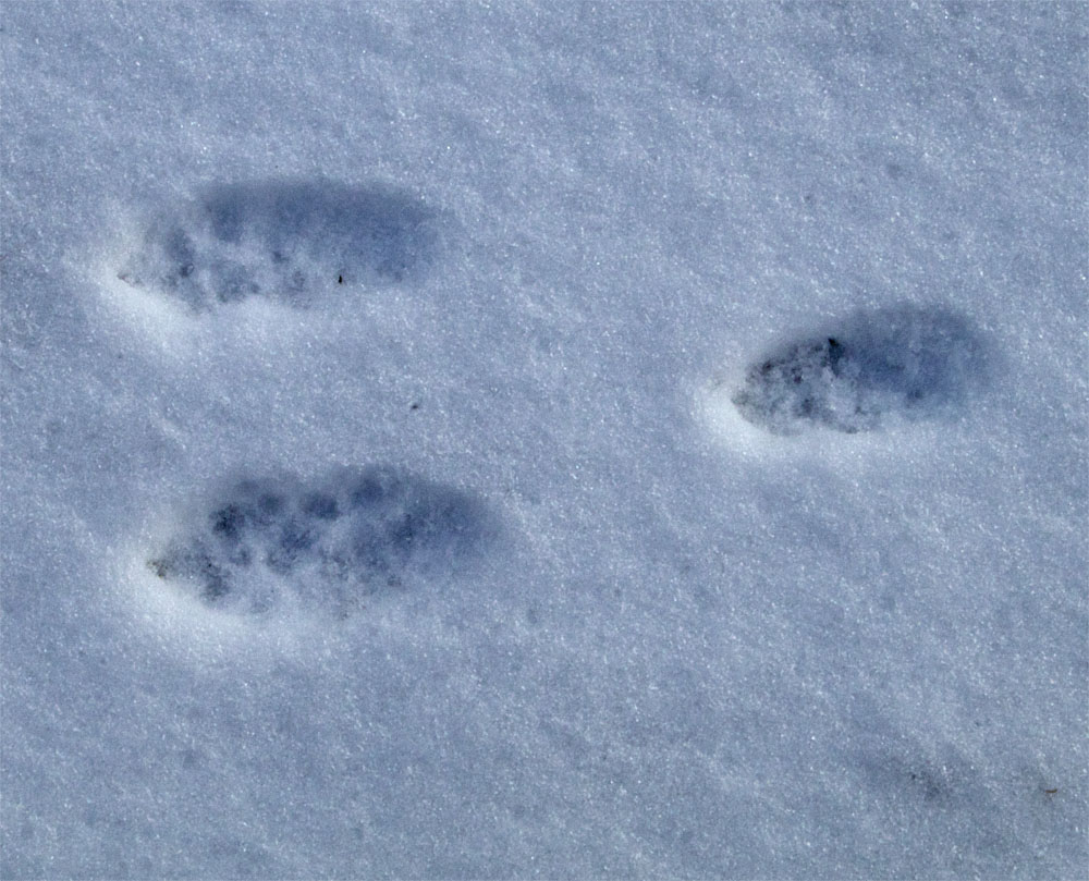 Rabbit tracks2 3 Mar 2018