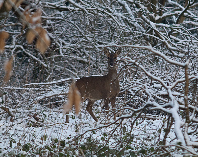 Roe deer 28 Feb 2018