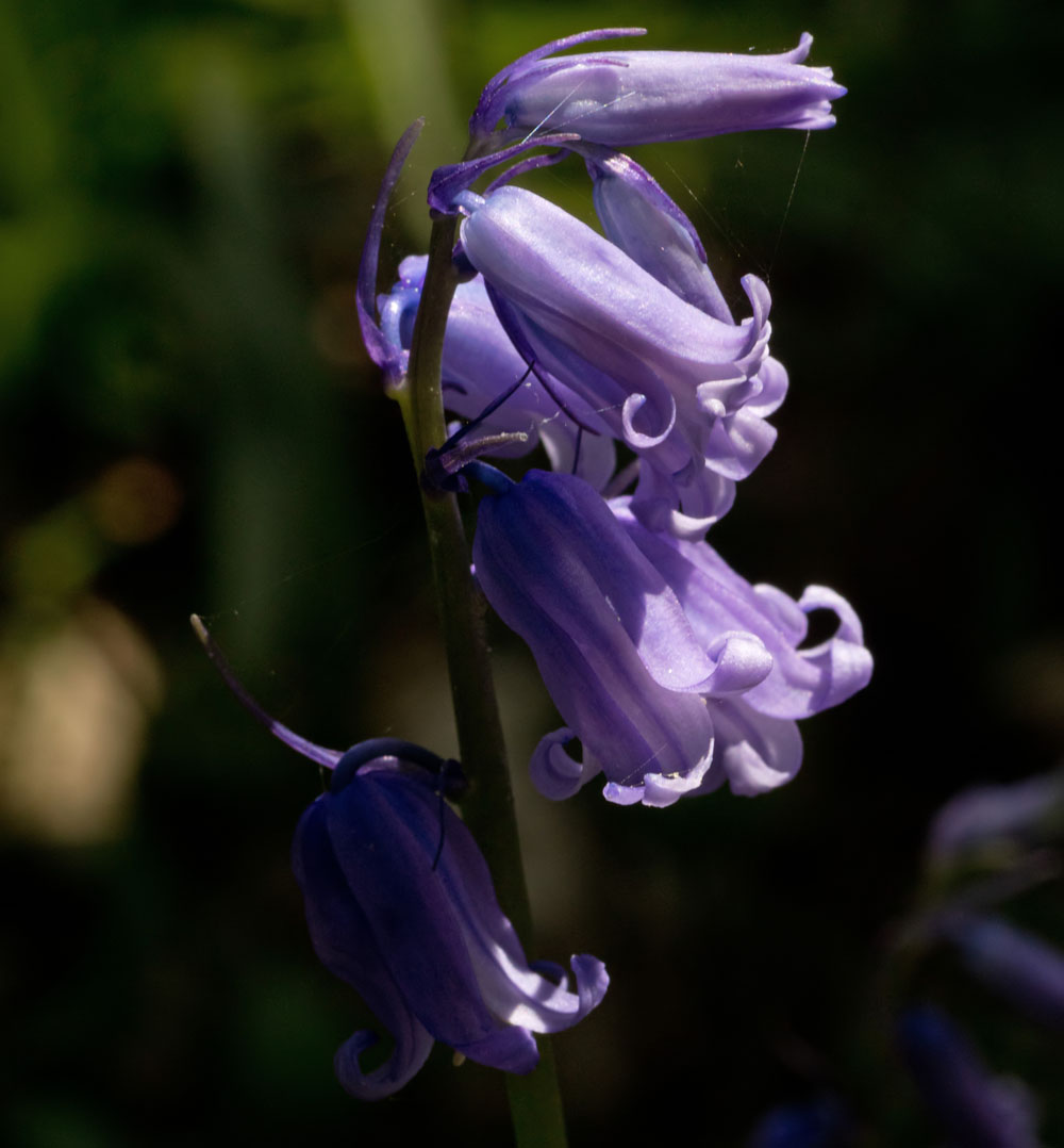 Bluebell 20 Apr 2018