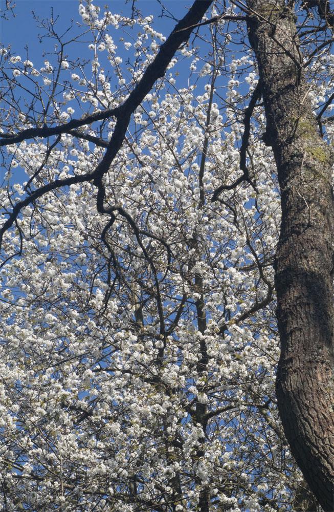 Cherry tree 20 Apr 2018
