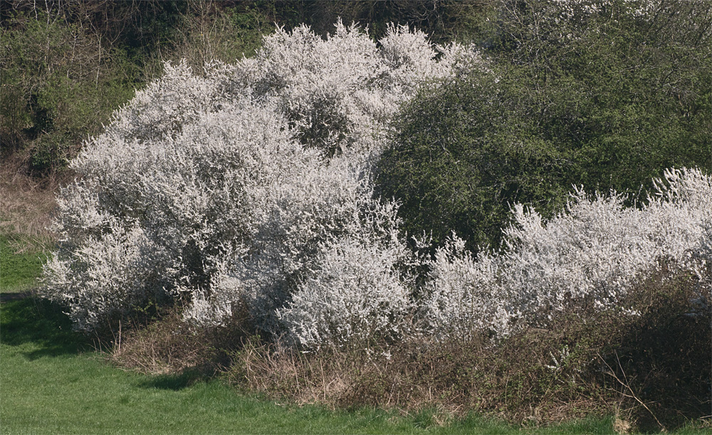 Hedgerow blossom 20 Apr 2018