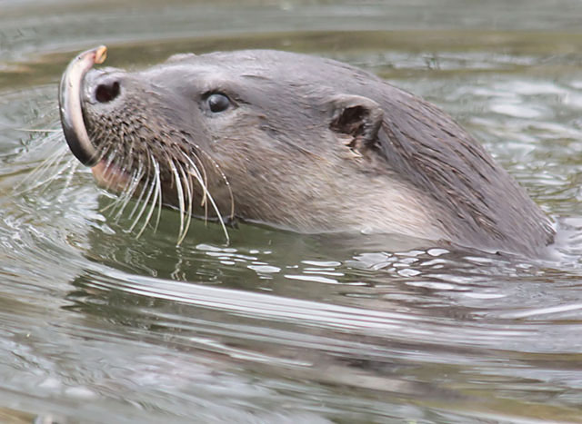 Otter with lamprey