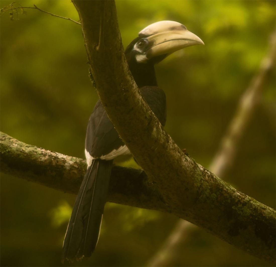 Oriental pied hornbill 28 May 2018