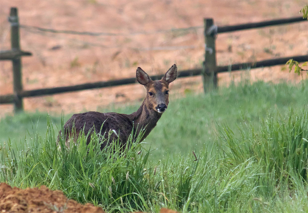 Roe deer 13 May 2018