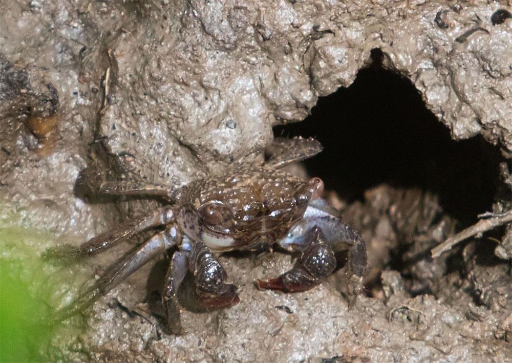 Crab Chek Jawa