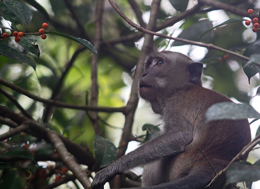Long-tailed macaque Pulau Ubin 29 May 2018