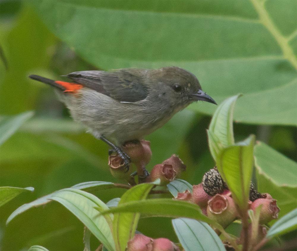 Mystery bird SG