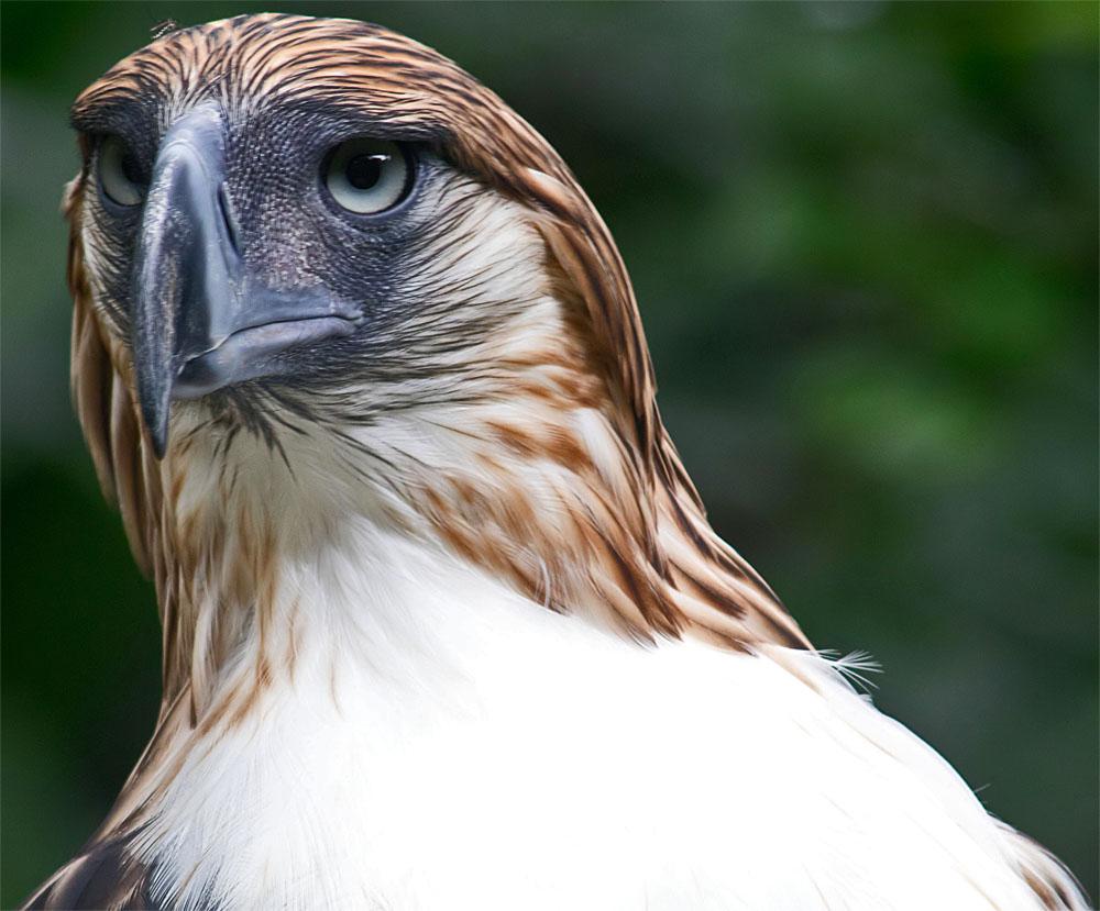 Philippine eagle1 6 June 2018