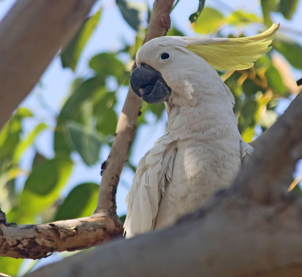Sulphur-crested cockatoo1