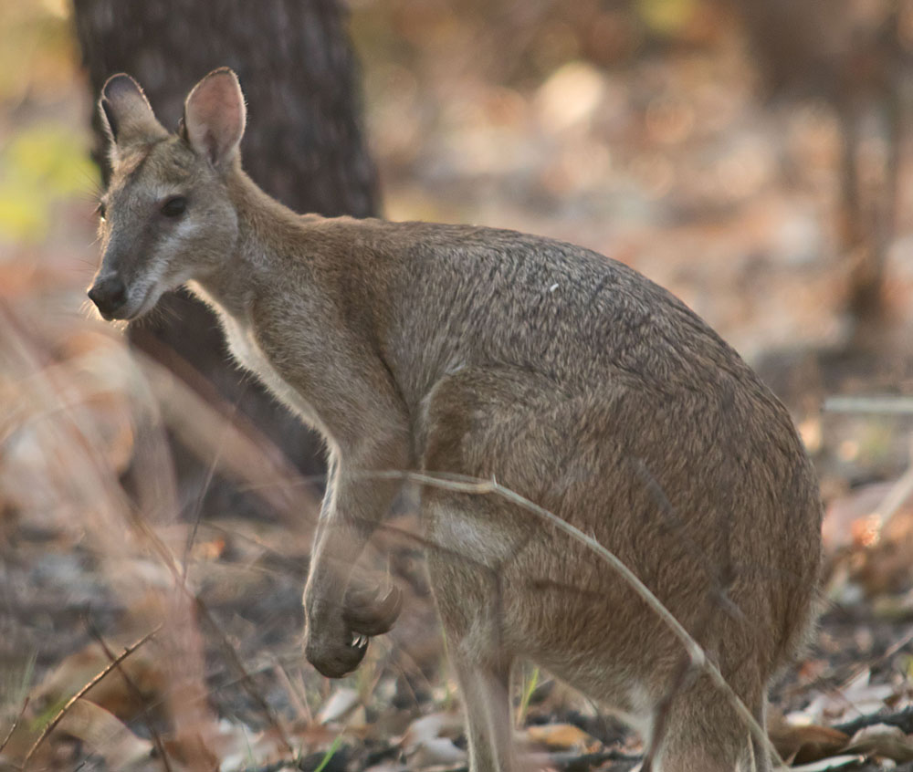 Agile wallaby4