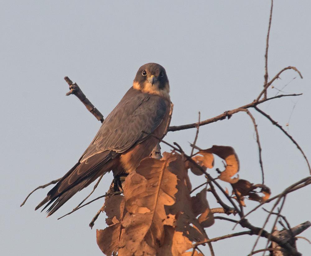 Australian falcon