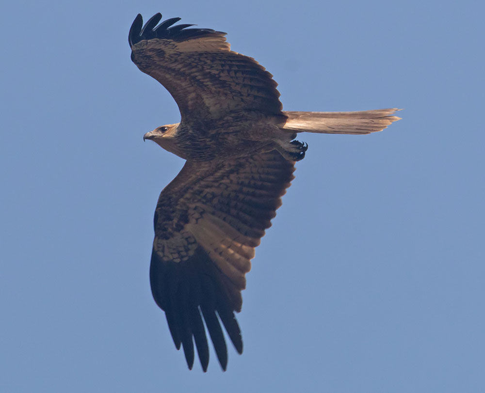 Black kite2