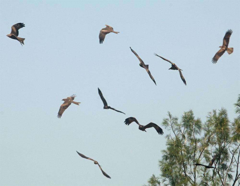 Black kites1