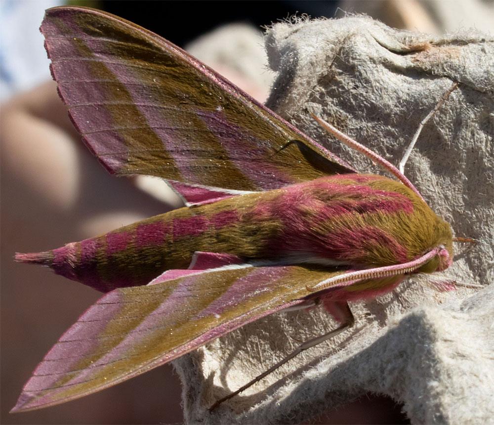 Elephant hawk moth Dorset 100718