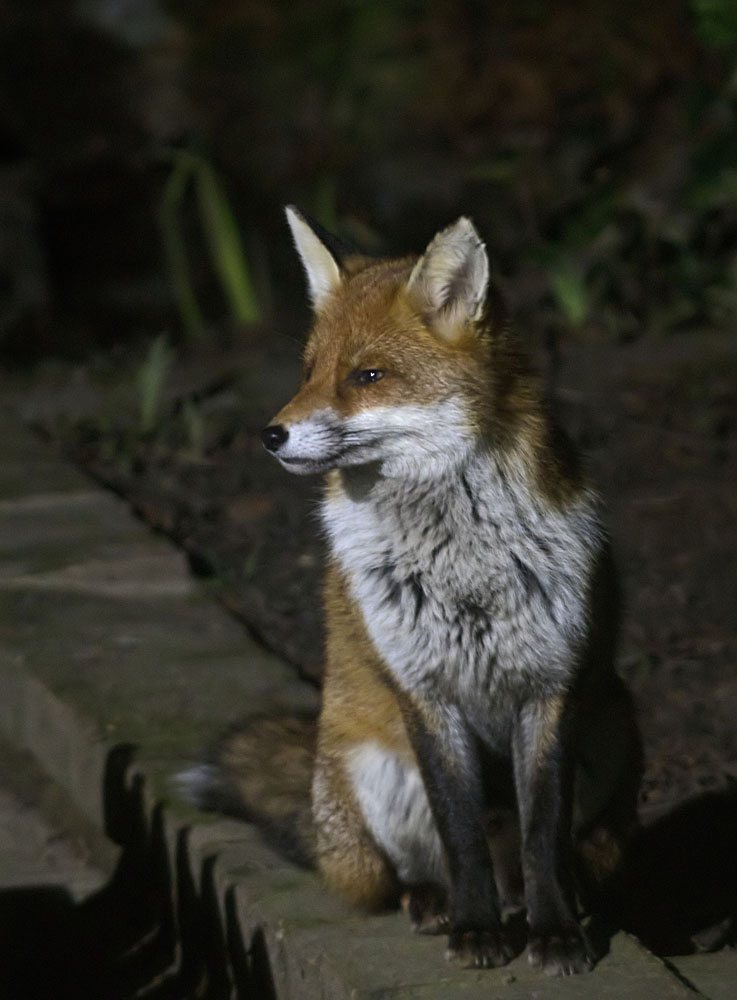 Fox Cavalier cub 24 Feb 2018