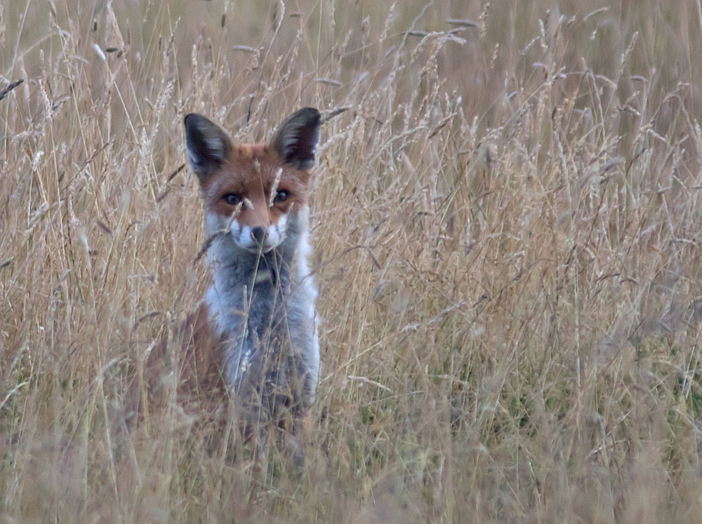 Fox in grass 27 Jul 2018