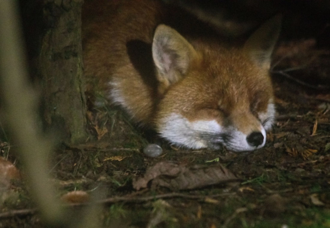 Fox One eye sleeping1 170117